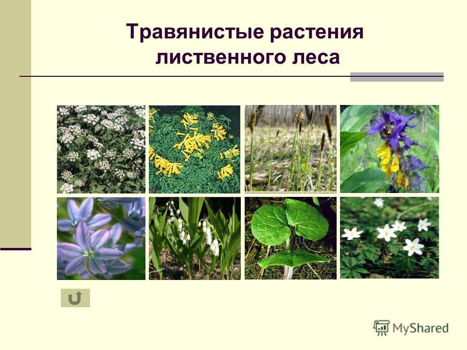 Травянистые растения лиственного леса