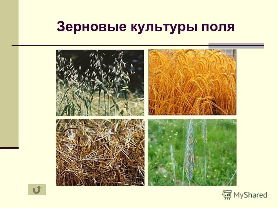 Зерновые культуры поля