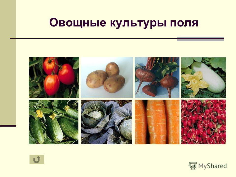 Овощные культуры поля