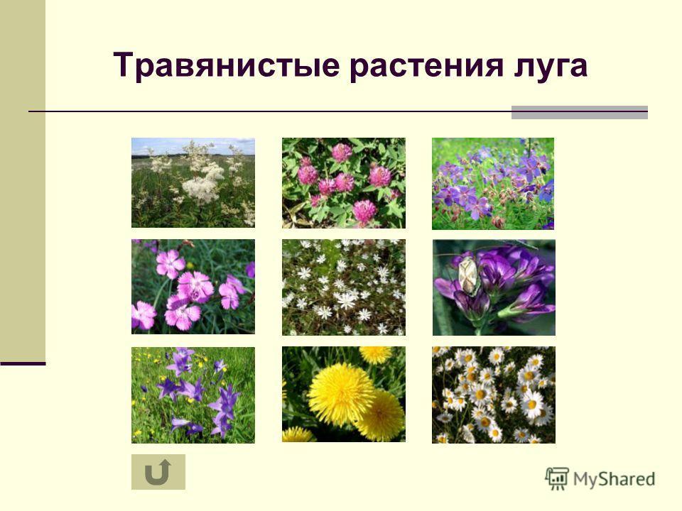 Презентация на тему Экосистемы луга леса и поля Автор Усачева  9 Травянистые растения луга