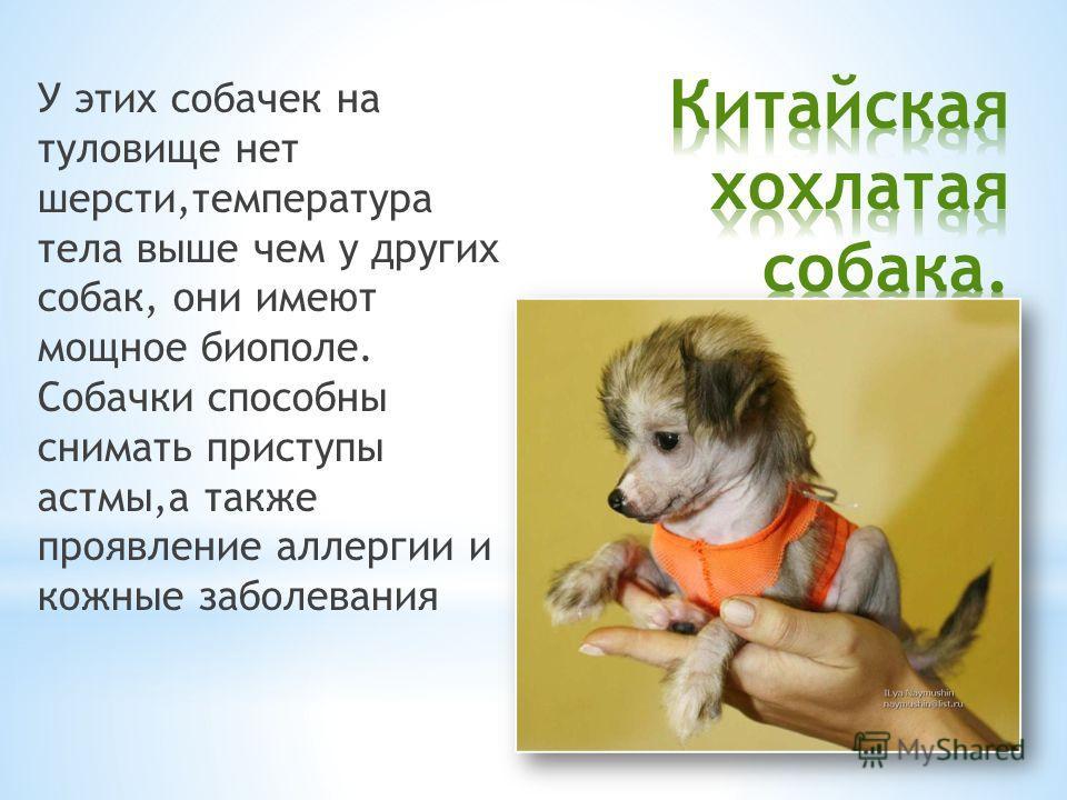 У этих собачек на туловище нет шерсти,температура тела выше чем у других собак, они имеют мощное биополе. Собачки способны снимать приступы астмы,а также проявление аллергии и кожные заболевания