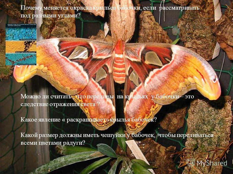 Можно ли считать, что переливы на крыльях у бабочки – это следствие отражения света ? Какое явление « раскрашивает» крылья бабочек? Какой размер должны иметь чешуйки у бабочек, чтобы переливаться всеми цветами радуги? Почему меняется окраска крыльев