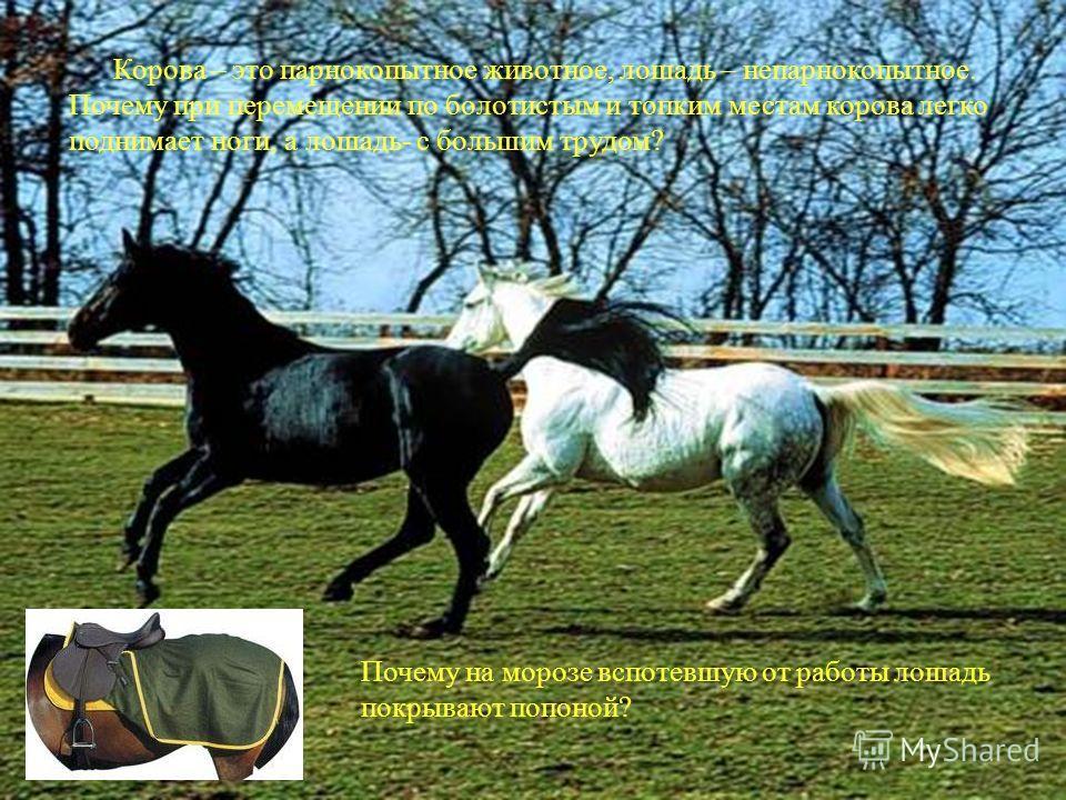 Корова – это парнокопытное животное, лошадь – непарнокопытное. Почему при перемещении по болотистым и топким местам корова легко поднимает ноги, а лошадь- с большим трудом? Почему на морозе вспотевшую от работы лошадь покрывают попоной?