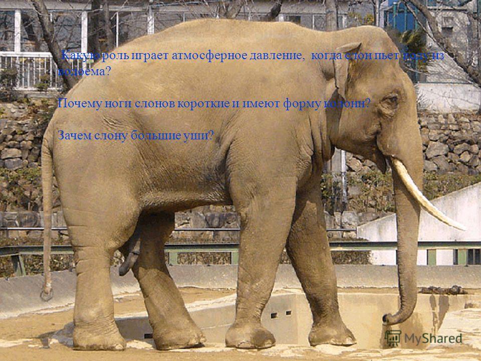 Какую роль играет атмосферное давление, когда слон пьет воду из водоема? Почему ноги слонов короткие и имеют форму колонн? Зачем слону большие уши?