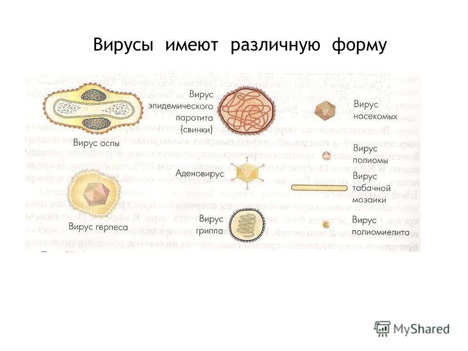 Вирусы имеют различную форму