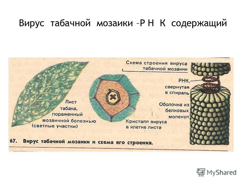Вирус табачной мозаики –Р Н К содержащий