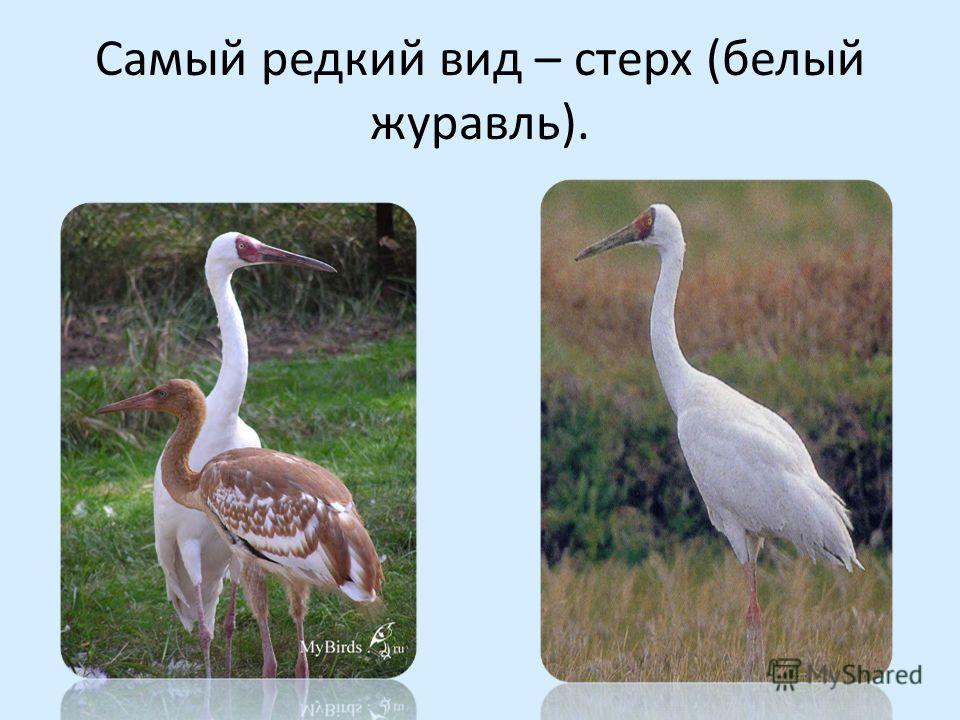 Самый редкий вид – стерх (белый журавль).