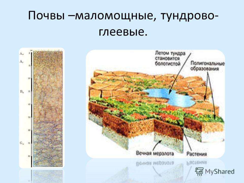 Почвы –маломощные, тундрово- глеевые.