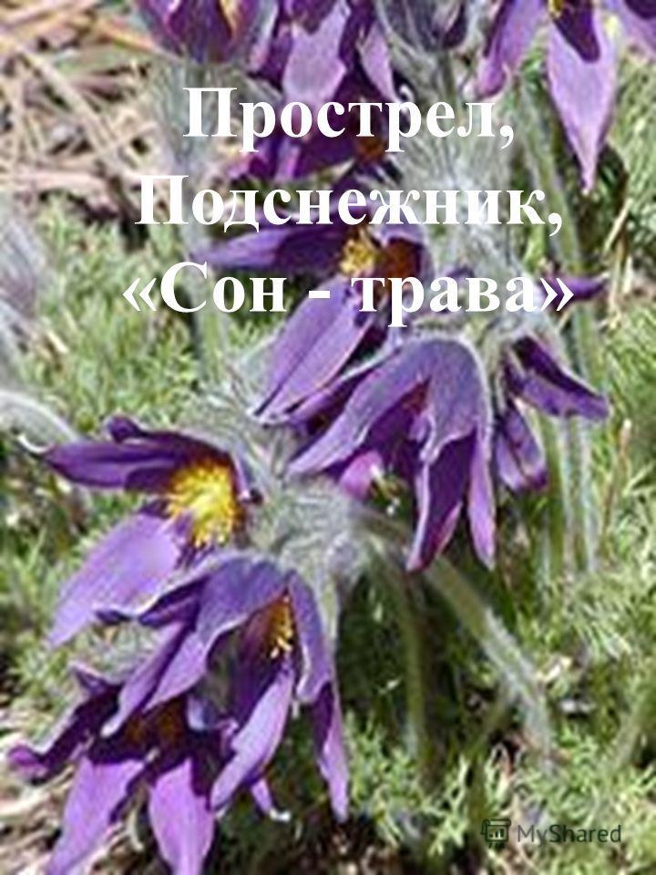 У этого цветка несколько названий. Одно из них растение получило из-за народного поверья, которое гласит, что человек, прилёгший отдохнуть среди цветов, погружается в долгий сон. Выглянул цветочек В полутьме лесной – Маленький разведчик, посланный ве