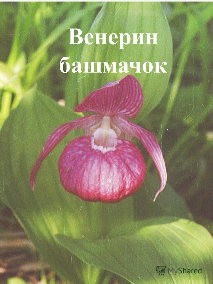 Его цветки по форме напоминают башмачки, а название – имя богини в Древнем Риме. Зацветает растение на 15-17 году жизни. Венерин башмачок