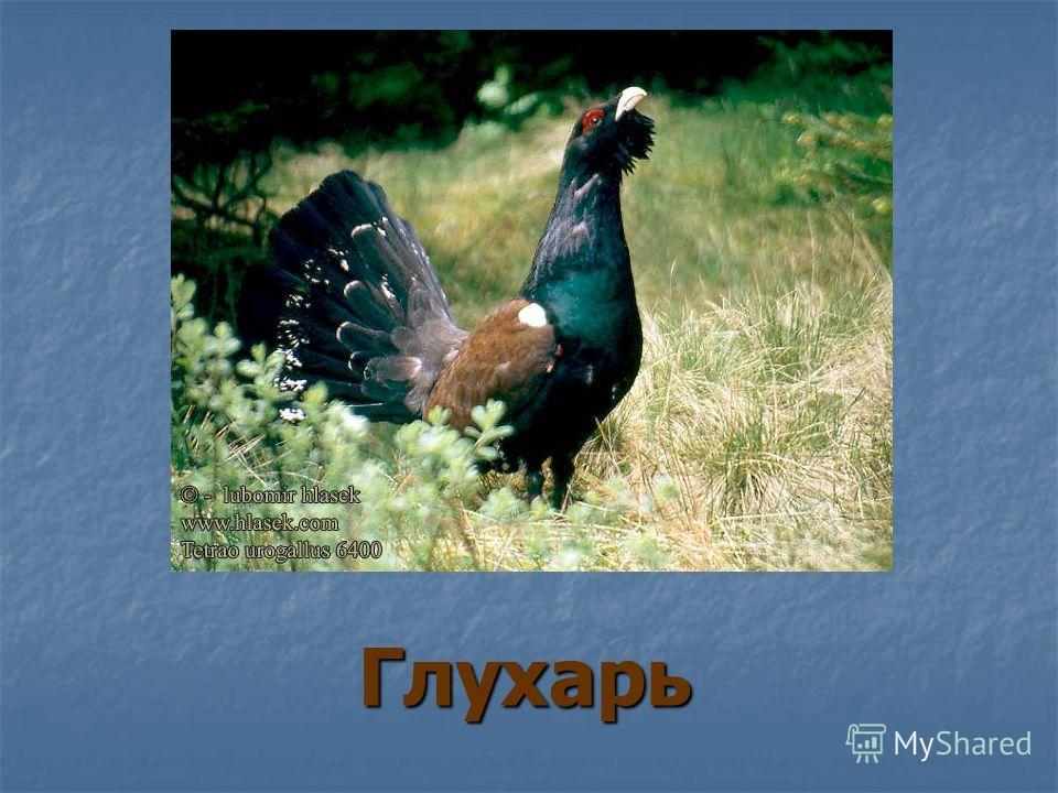 Птицы Кемеровской области