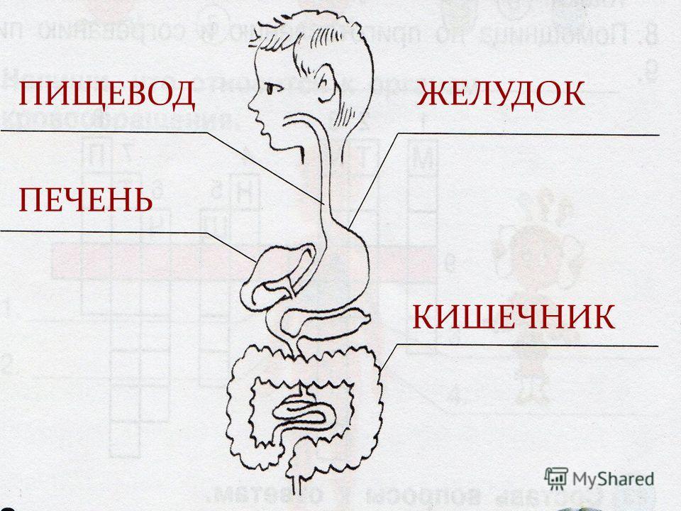 ПИЩЕВОД ПЕЧЕНЬ ЖЕЛУДОК КИШЕЧНИК