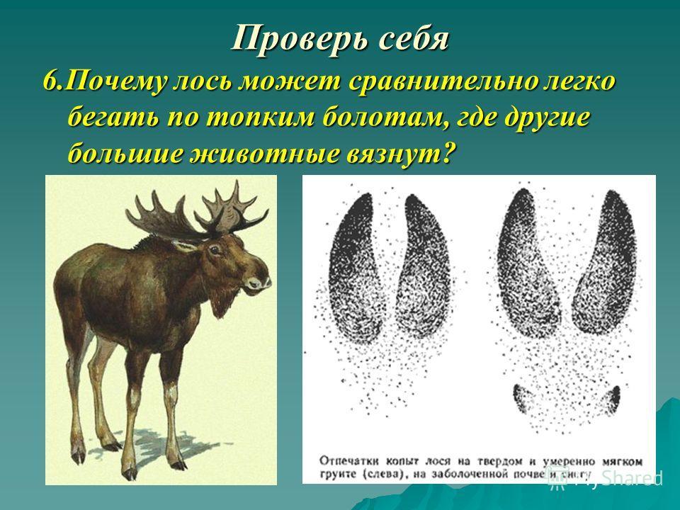6.Почему лось может сравнительно легко бегать по топким болотам, где другие большие животные вязнут?