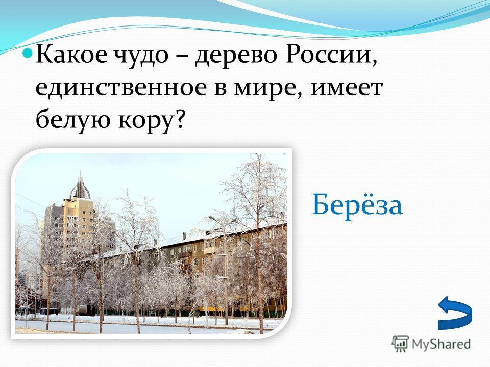 Какое чудо – дерево России, единственное в мире, имеет белую кору? Берёза