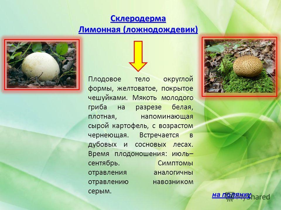 Склеродерма Лимонная (ложнодождевик) Лимонная (ложнодождевик) Плодовое тело округлой формы, желтоватое, покрытое чешуйками. Мякоть молодого гриба на разрезе белая, плотная, напоминающая сырой картофель, с возрастом чернеющая. Встречается в дубовых и