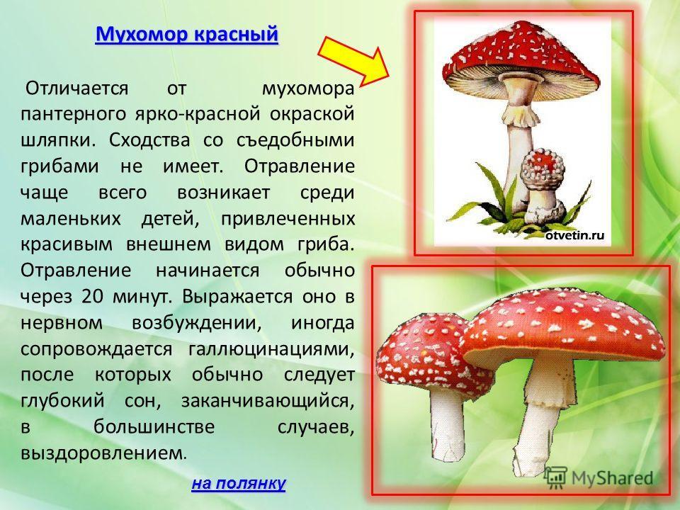 Мухомор красный Мухомор красный Отличается от мухомора пантерного ярко-красной окраской шляпки. Сходства со съедобными грибами не имеет. Отравление чаще всего возникает среди маленьких детей, привлеченных красивым внешнем видом гриба. Отравление начи