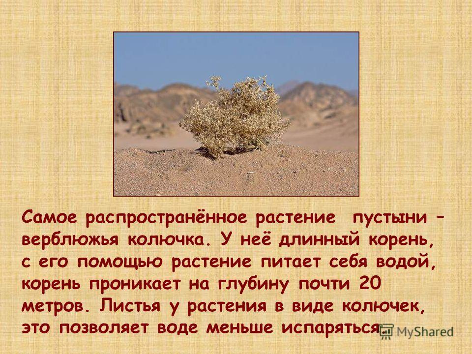 Самое распространённое растение пустыни – верблюжья колючка. У неё длинный корень, с его помощью растение питает себя водой, корень проникает на глубину почти 20 метров. Листья у растения в виде колючек, это позволяет воде меньше испаряться.