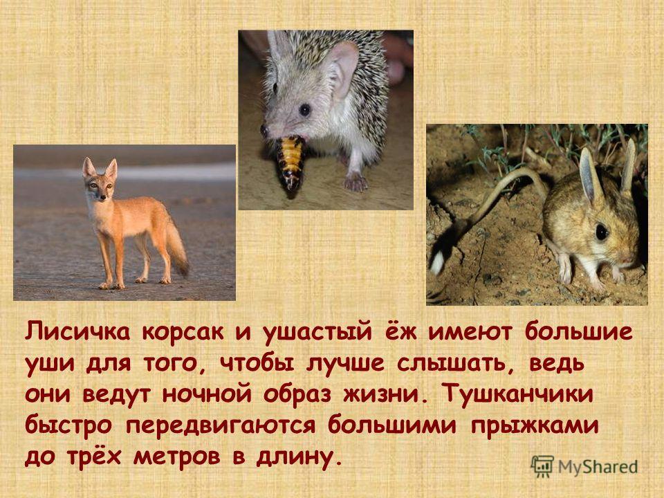 Лисичка корсак и ушастый ёж имеют большие уши для того, чтобы лучше слышать, ведь они ведут ночной образ жизни. Тушканчики быстро передвигаются большими прыжками до трёх метров в длину.