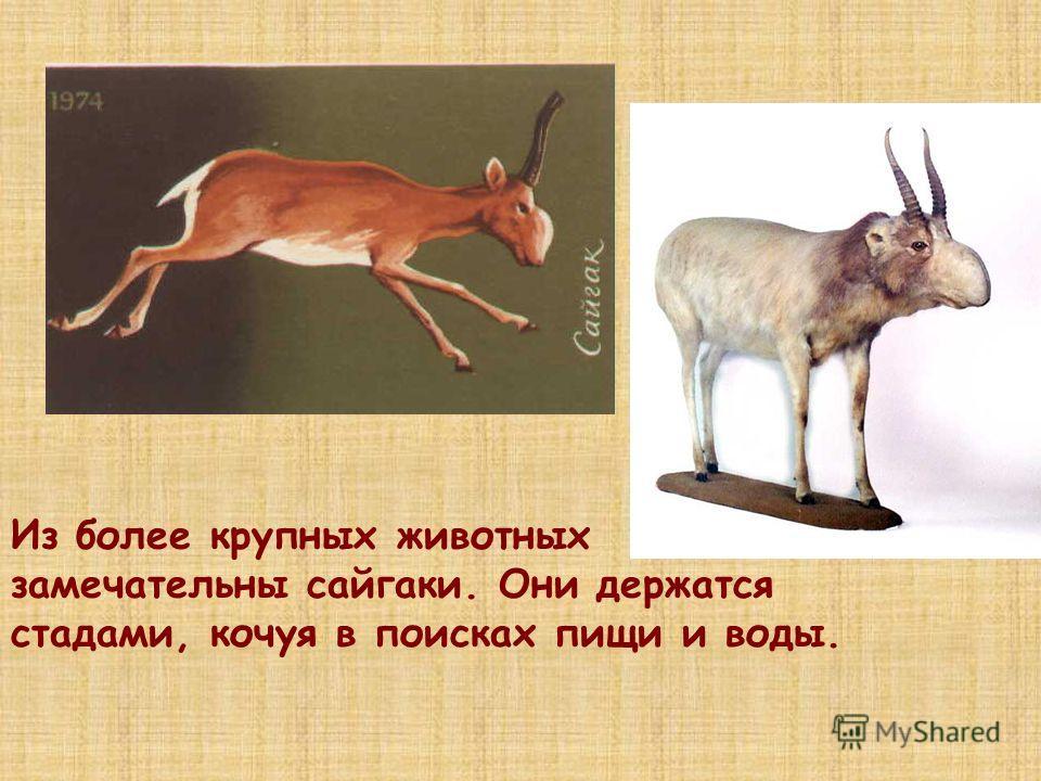 Из более крупных животных замечательны сайгаки. Они держатся стадами, кочуя в поисках пищи и воды.