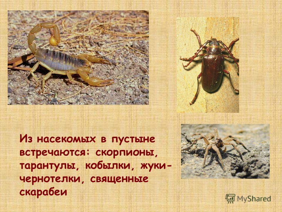 Из насекомых в пустыне встречаются: скорпионы, тарантулы, кобылки, жуки- чернотелки, священные скарабеи
