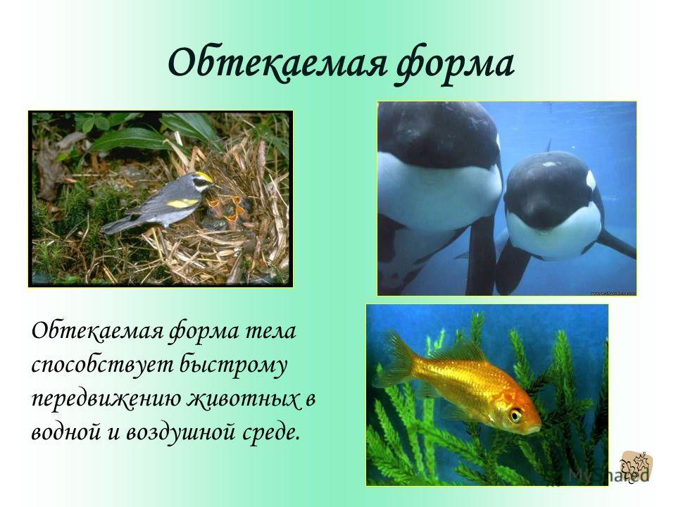 Обтекаемая форма Обтекаемая форма тела способствует быстрому передвижению животных в водной и воздушной среде.