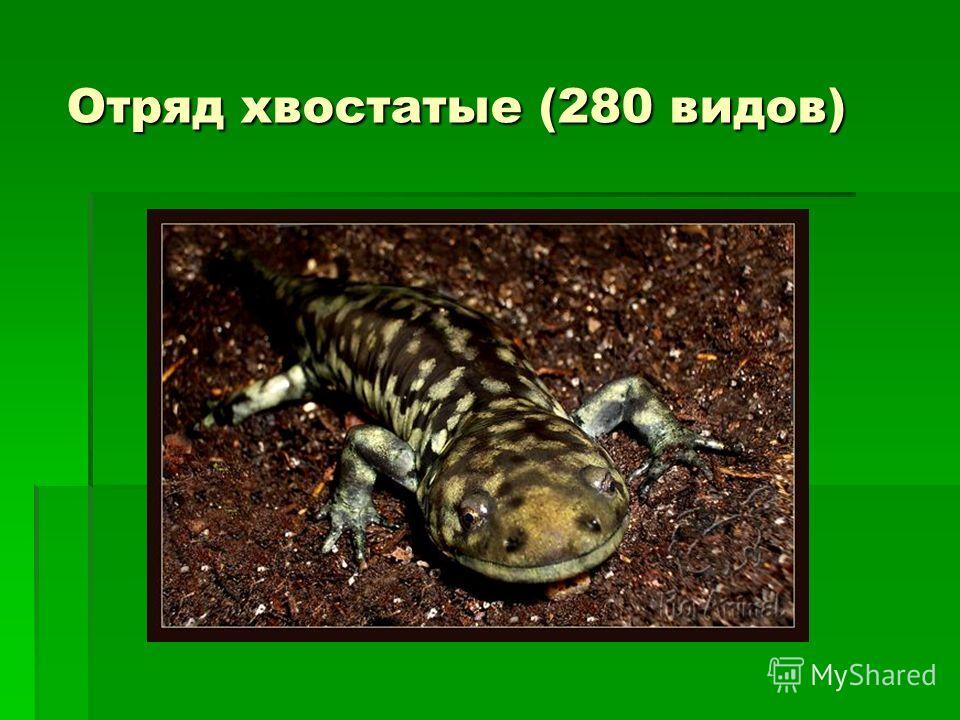 Отряд хвостатые (280 видов)