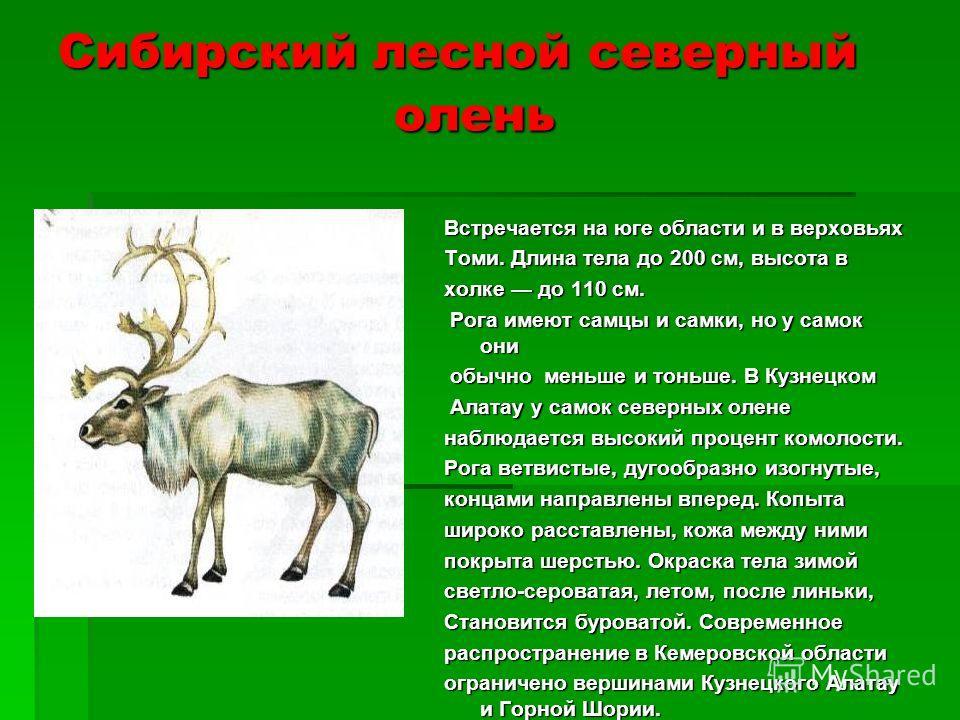 Сибирский лесной северный олень Встречается на юге области и в верховьях Томи. Длина тела до 200 см, высота в холке до 110 см. Рога имеют самцы и самки, но у самок они Рога имеют самцы и самки, но у самок они обычно меньше и тоньше. В Кузнецком обычн