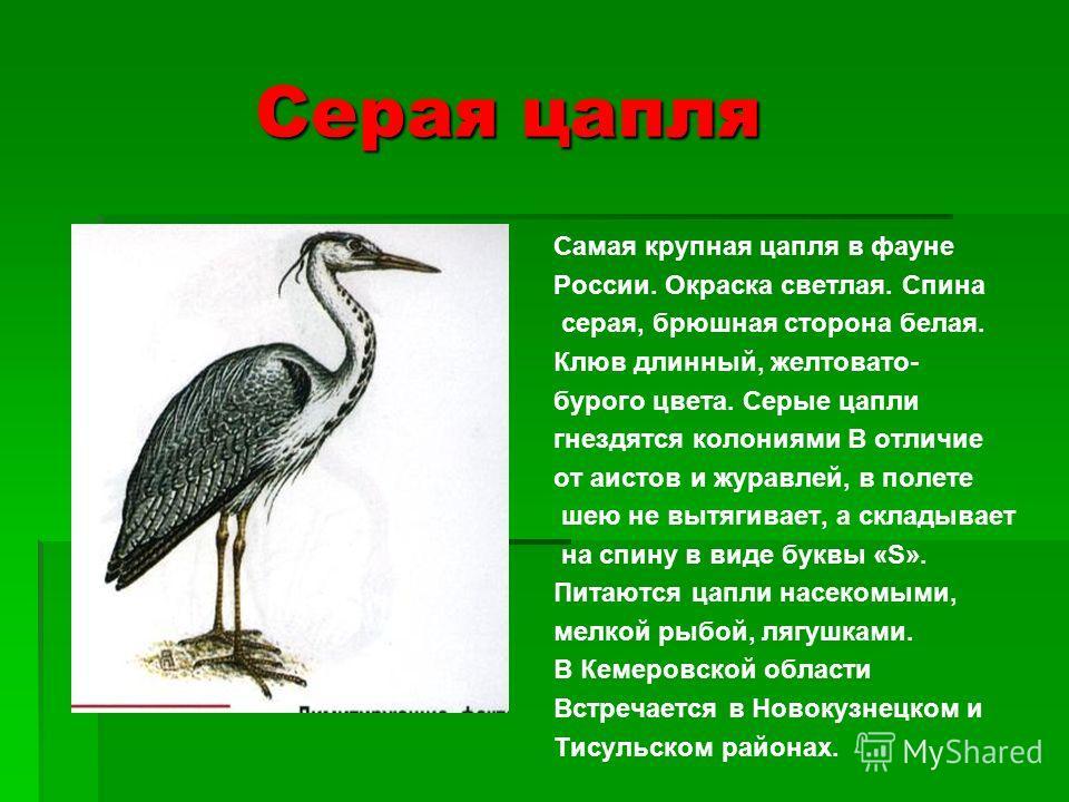 Серая цапля Серая цапля Самая крупная цапля в фауне России. Окраска светлая. Спина серая, брюшная сторона белая. Клюв длинный, желтовато- бурого цвета. Серые цапли гнездятся колониями В отличие от аистов и журавлей, в полете шею не вытягивает, а скла