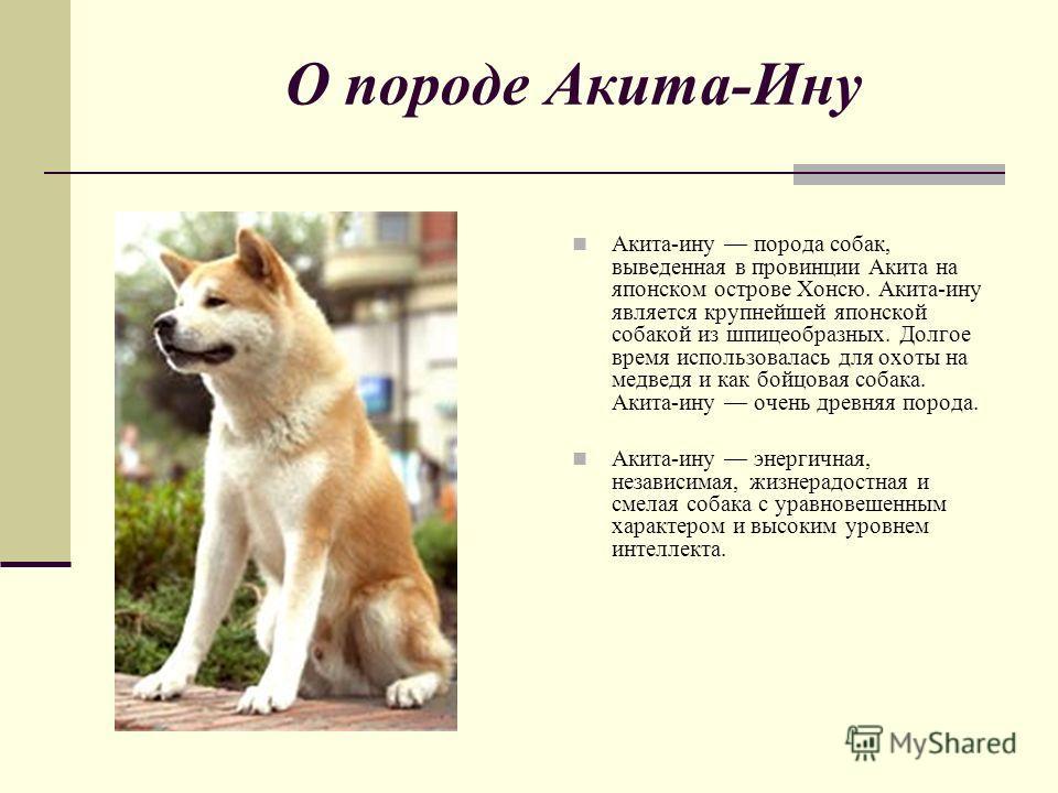 О породе Акита-Ину Акита-ину порода собак, выведенная в провинции Акита на японском острове Хонсю. Акита-ину является крупнейшей японской собакой из шпицеобразных. Долгое время использовалась для охоты на медведя и как бойцовая собака. Акита-ину очен