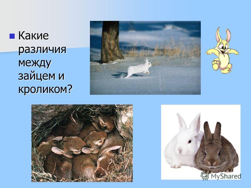 Какие различия между зайцем и кроликом? Какие различия между зайцем и кроликом?