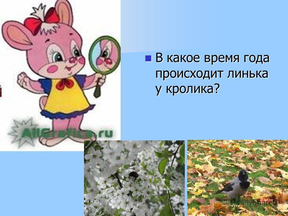 В какое время года происходит линька у кролика? В какое время года происходит линька у кролика?