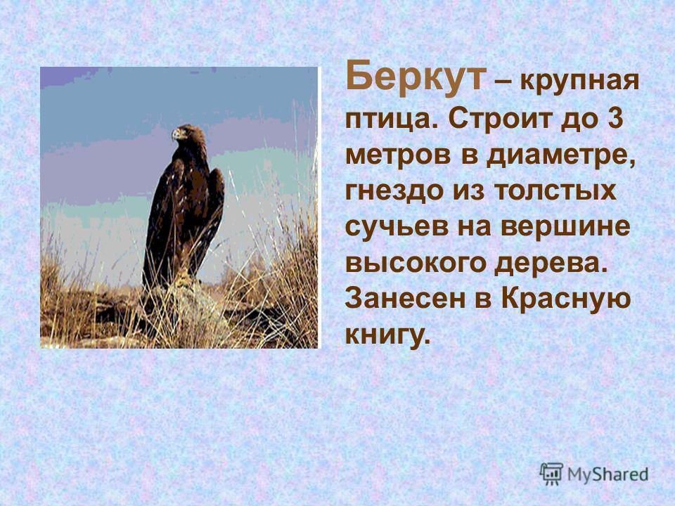 Беркут – крупная птица. Строит до 3 метров в диаметре, гнездо из толстых сучьев на вершине высокого дерева. Занесен в Красную книгу.
