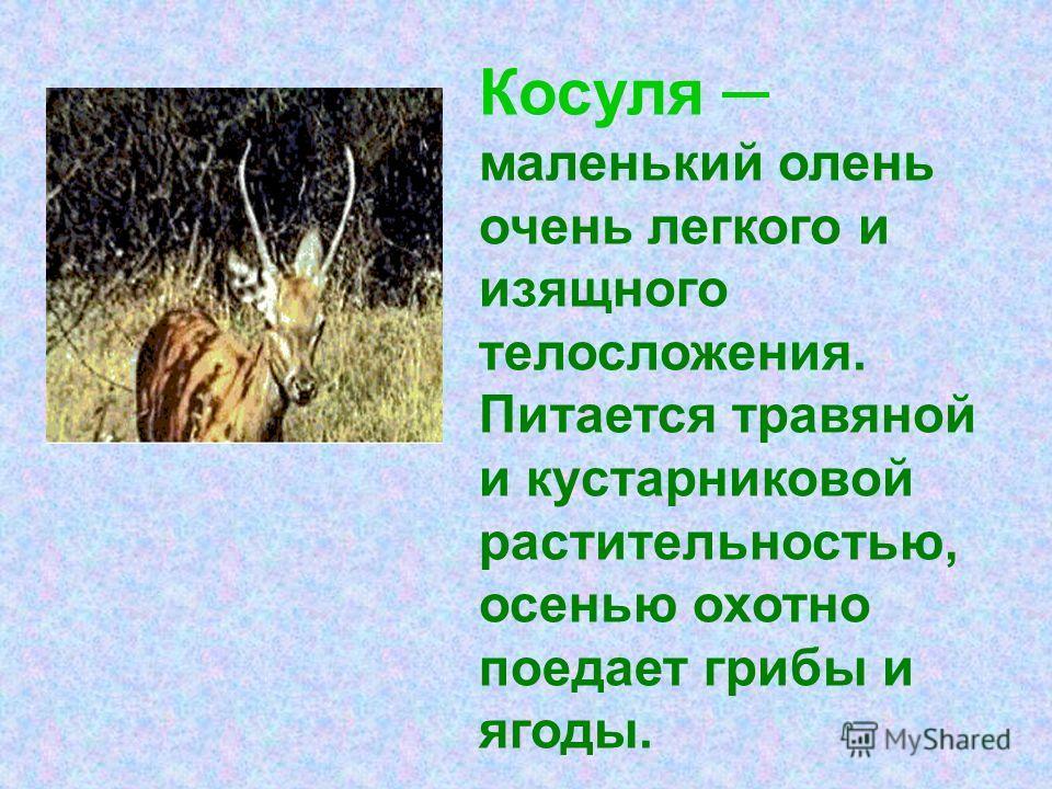 Косуля маленький олень очень легкого и изящного телосложения. Питается травяной и кустарниковой растительностью, осенью охотно поедает грибы и ягоды.