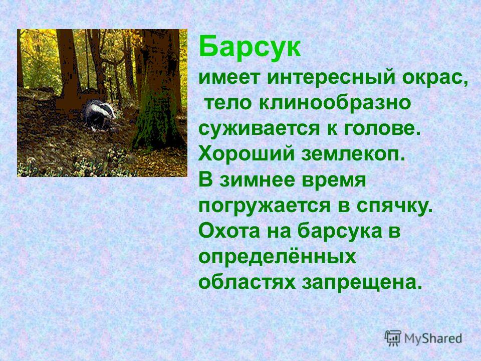 Барсук имеет интересный окрас, тело клинообразно суживается к голове. Хороший землекоп. В зимнее время погружается в спячку. Охота на барсука в определённых областях запрещена.