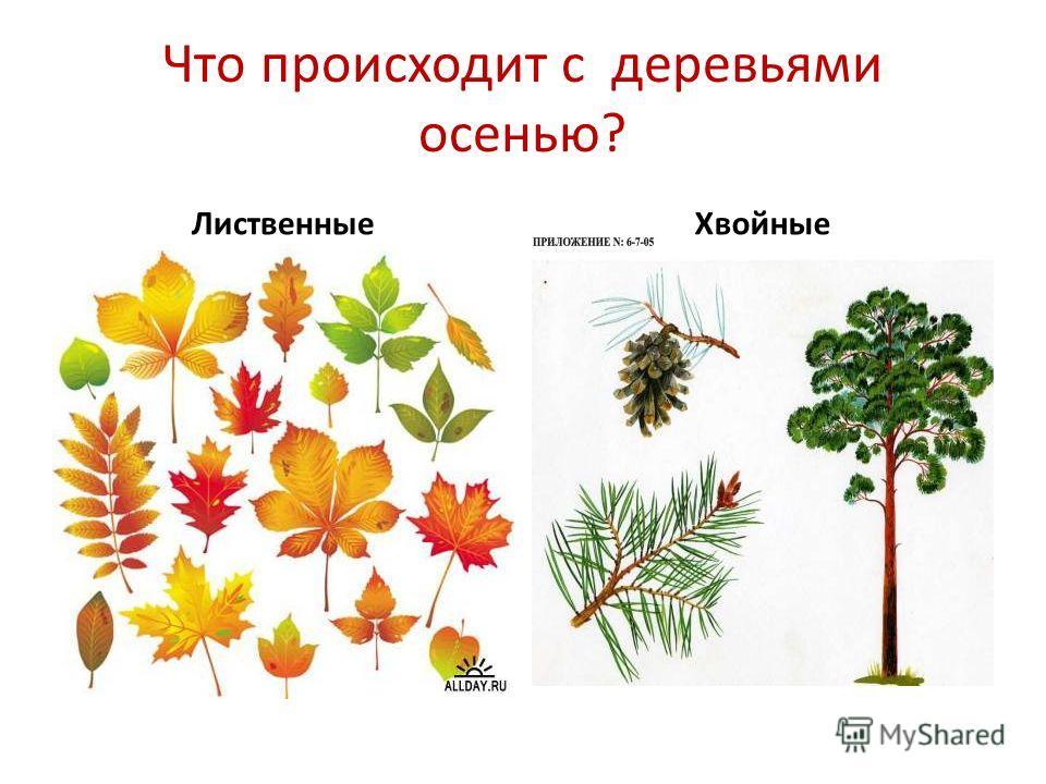 Что происходит с деревьями осенью? ЛиственныеХвойные
