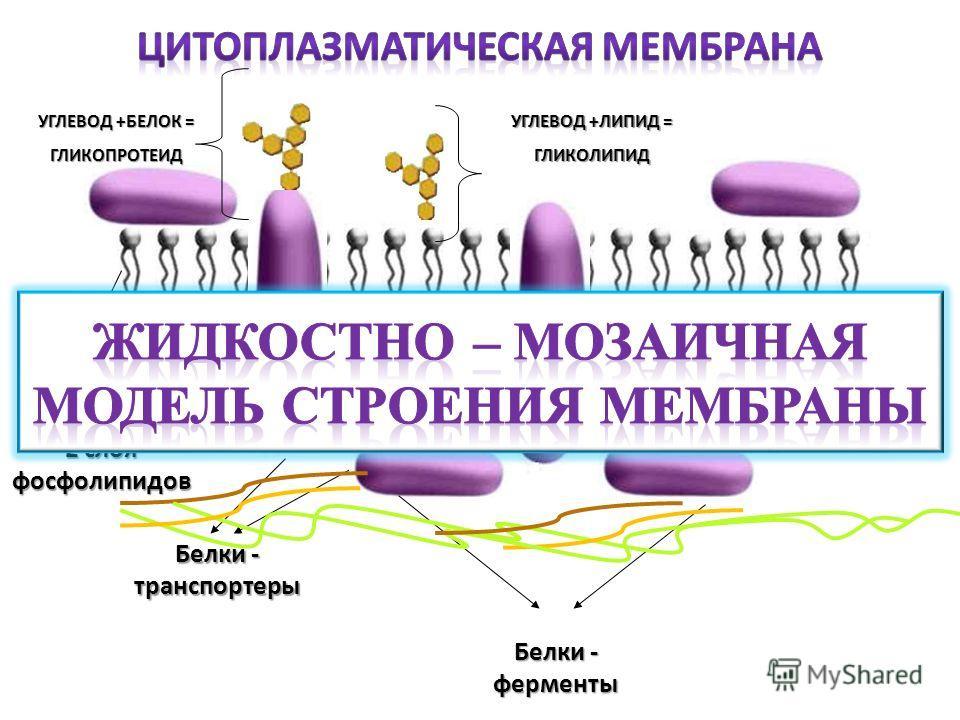 2 слоя фосфолипидов Белки - транспортеры Белки - ферменты УГЛЕВОД +БЕЛОК = ГЛИКОПРОТЕИД УГЛЕВОД +ЛИПИД = ГЛИКОЛИПИД