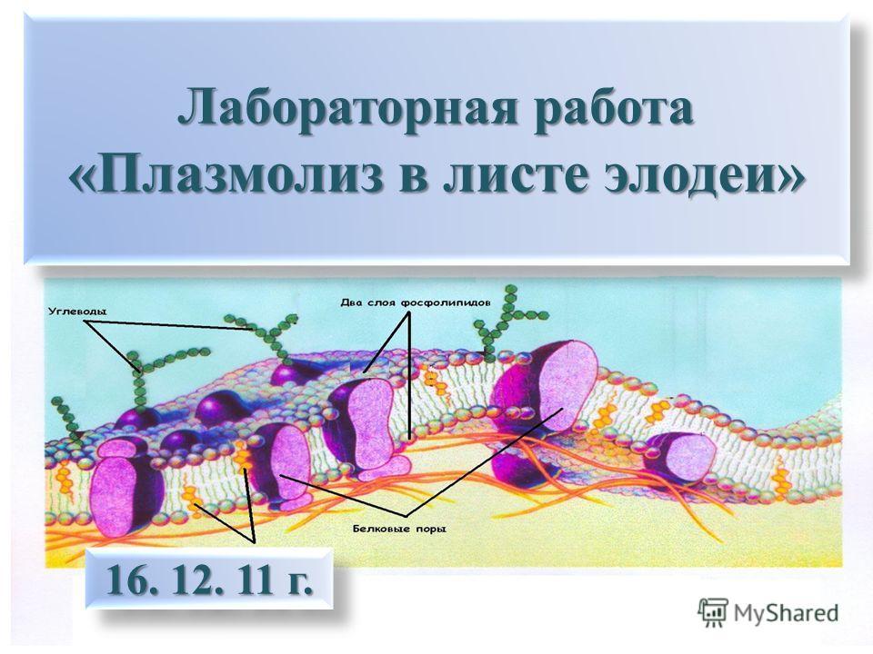 Лабораторная работа «Плазмолиз в листе элодеи» 16. 12. 11 г.