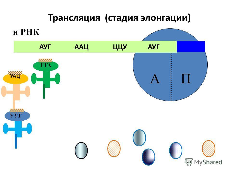 АП АУГ ААЦ ЦЦУ АУГ и РНК Трансляция (стадия элонгации) УАЦ ГГА УУГ