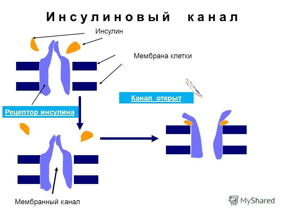 Мембрана клетки Инсулин Рецептор инсулина Канал открыт Мембранный канал И н с у л и н о в ы й к а н а л