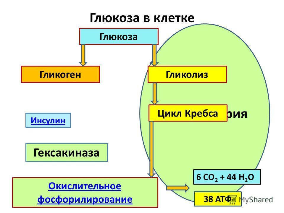Митохондрия Окислительное фосфорилирование Глюкоза ГликогенГликолиз Цикл Кребса Глюкоза в клетке 6 СО 2 + 44 Н 2 О 38 АТФ Инсулин Гексакиназа