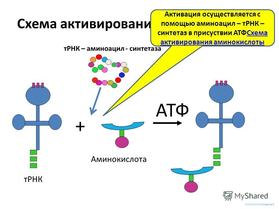 Активация осуществляется с помощью аминоацил – тРНК – синтетаз в присуствии АТФСхема активирования аминокислоты