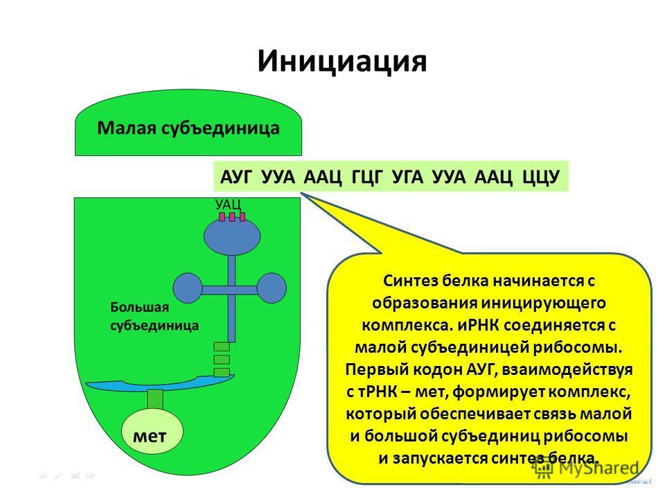 Синтез белка начинается с образования иницирующего комплекса. иРНК соединяется с малой субъединицей рибосомы. Первый кодон АУГ, взаимодействуя с тРНК – мет, формирует комплекс, который обеспечивает связь малой и большой субъединиц рибосомы и запускае