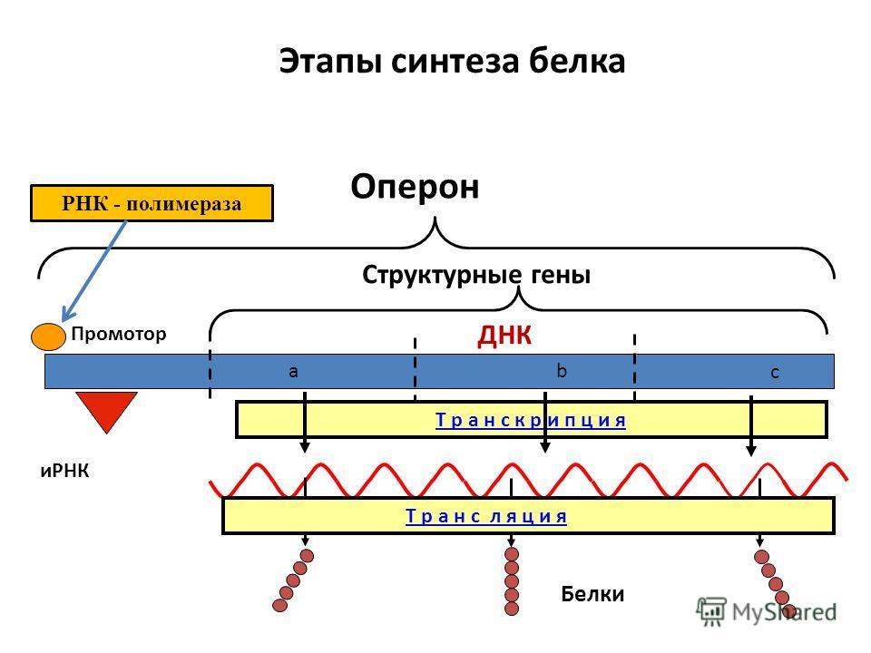 Оперон Структурные гены Промотор аb c Этапы синтеза белка иРНК Белки Т р а н с л я ц и я Т р а н с к р и п ц и я ДНК РНК - полимераза
