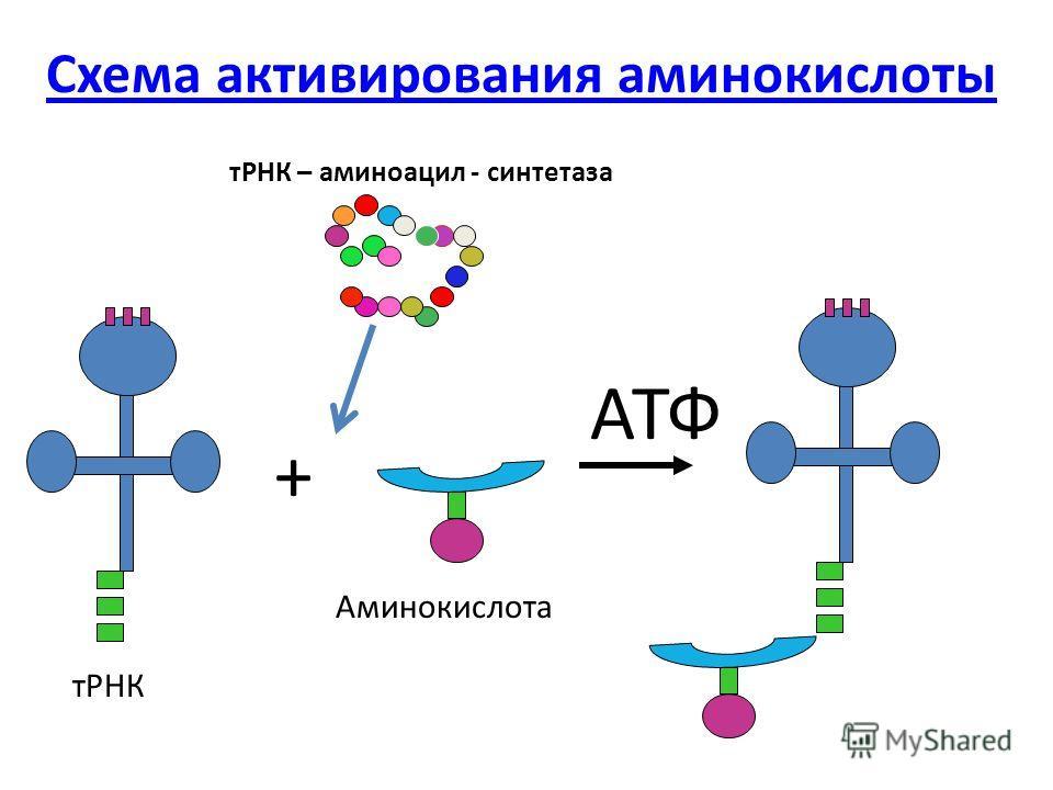Схема активирования аминокислоты + АТФ тРНК Аминокислота тРНК – аминоацил - синтетаза