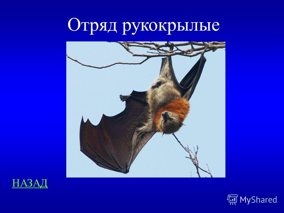 Среда обитания 400 Назовите отряд млекопитающих освоивших воздушную среду
