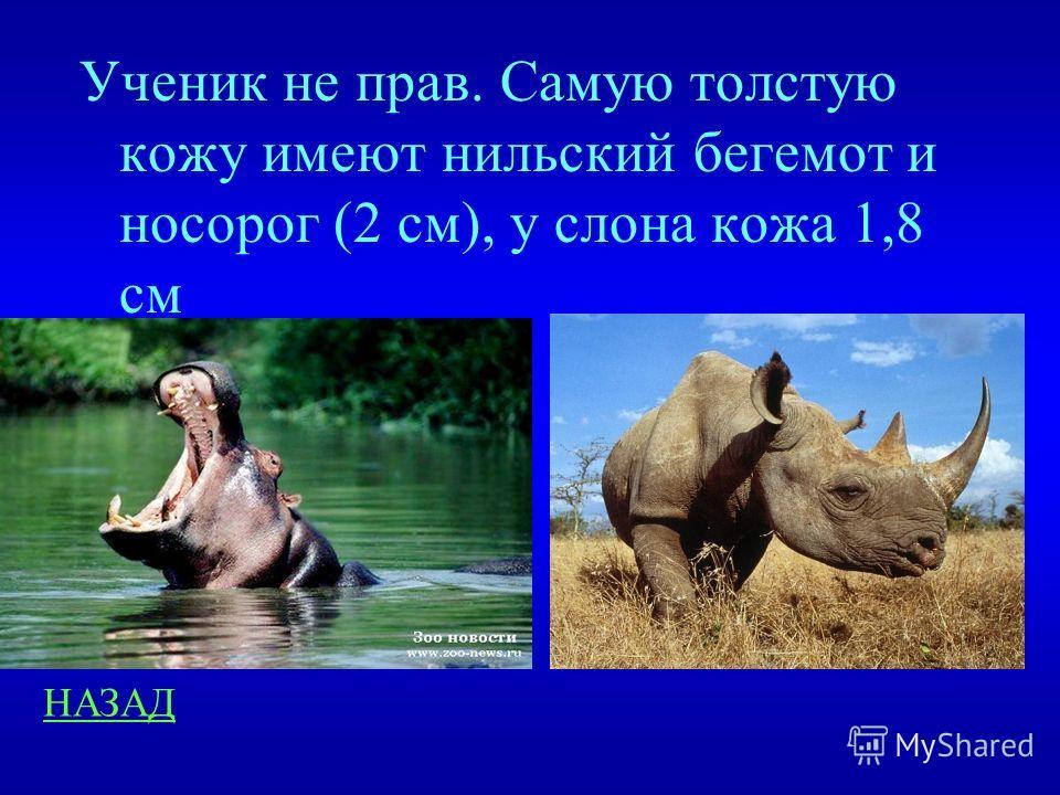 Занимательные вопросы 100 Рассказывая о слонах ученик сказал: «Слон – самое толстокожее животное» Был ли прав ученик и почему?