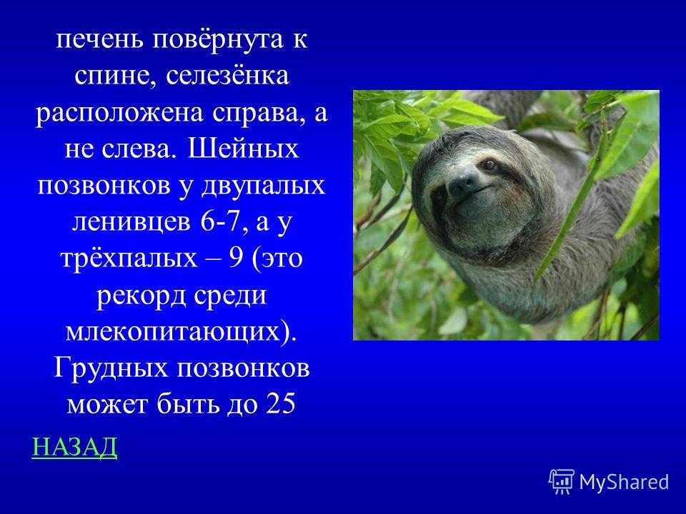 Занимательные вопросы 200 Чем внутреннее строение ленивца отличается от других млекопитающих?