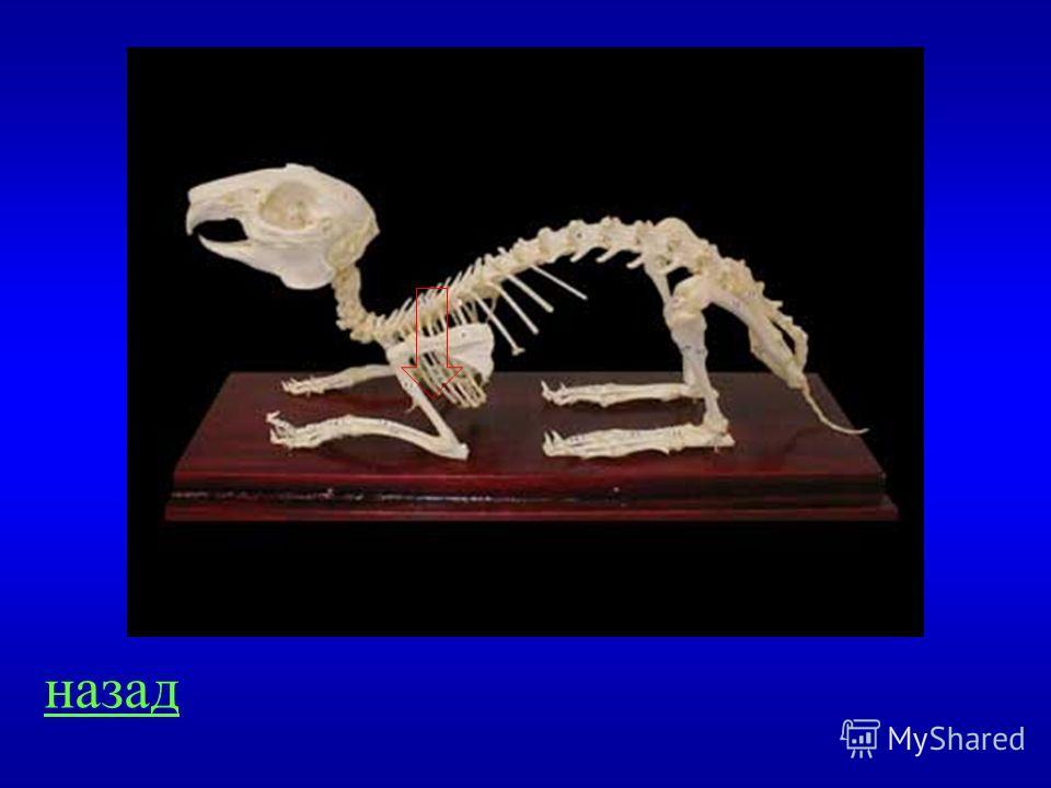 Скелет 500 Выйти и показать на картинке лопатку