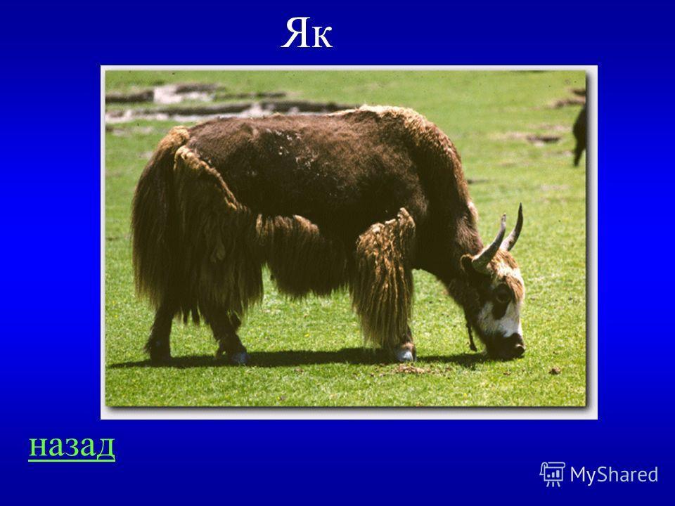 Общие вопросы 300 Это животное как и корова даёт молоко, с него стригут шерсть, как с овцы, хвост у него лошадиный, а хрюкает как свинья. О ком идёт речь?