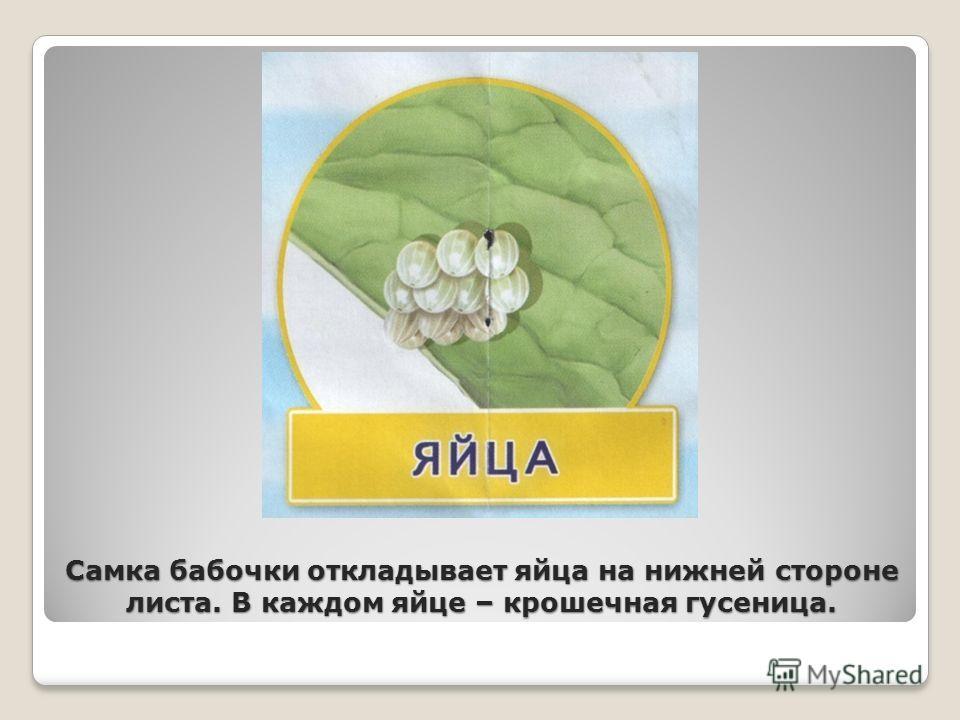Самка бабочки откладывает яйца на нижней стороне листа. В каждом яйце – крошечная гусеница.